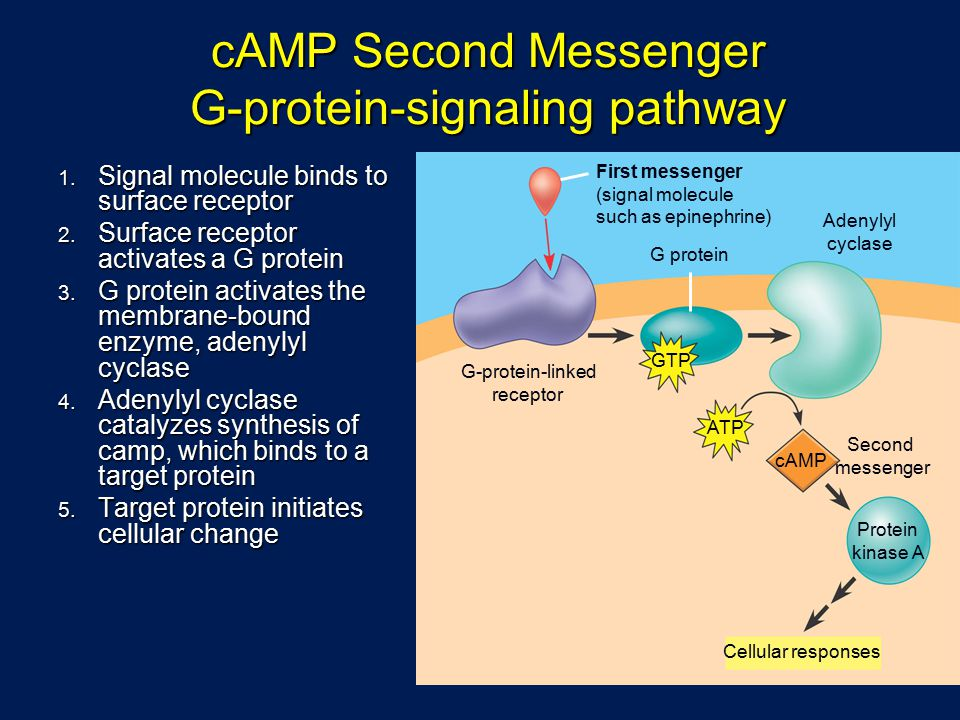cAMP Second Messenger G-protein-signaling pathway
