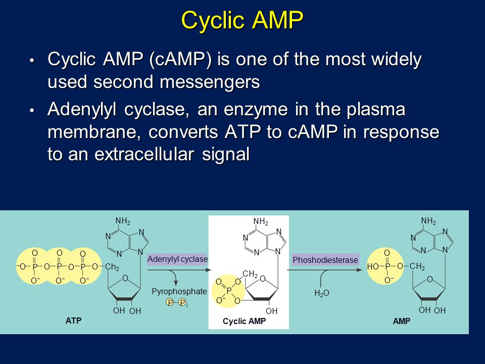 Cyclic AMP Cyclic AMP (cAMP) is one of the most widely used second messengers.