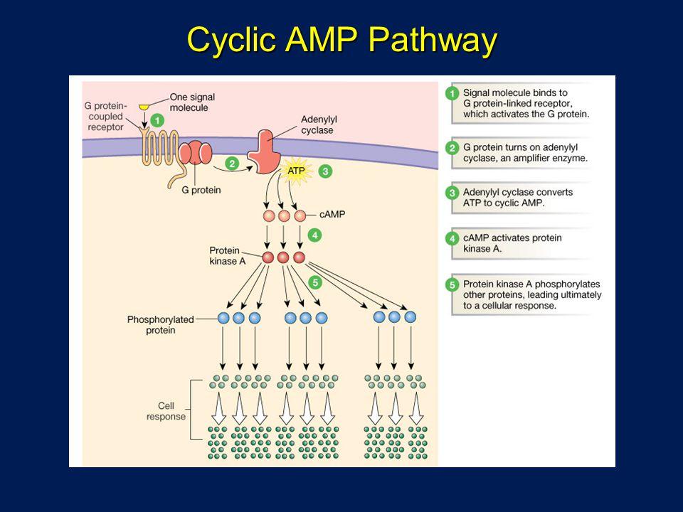 Cyclic AMP Pathway