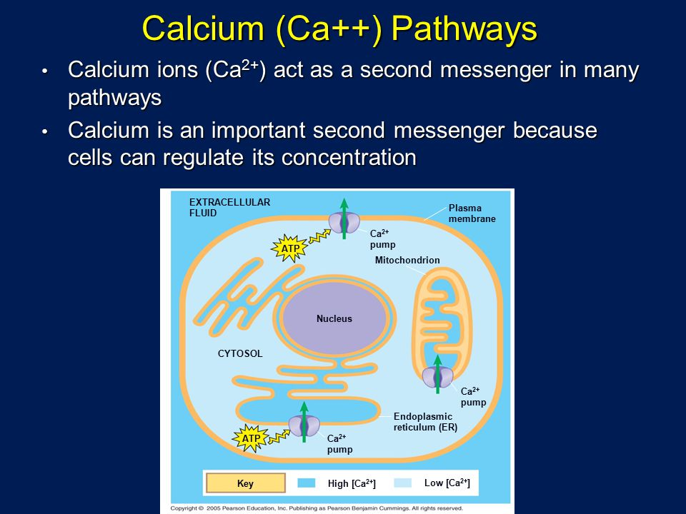 Calcium (Ca++) Pathways