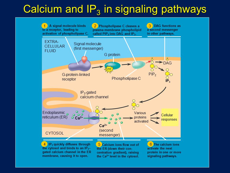 Calcium and IP3 in signaling pathways