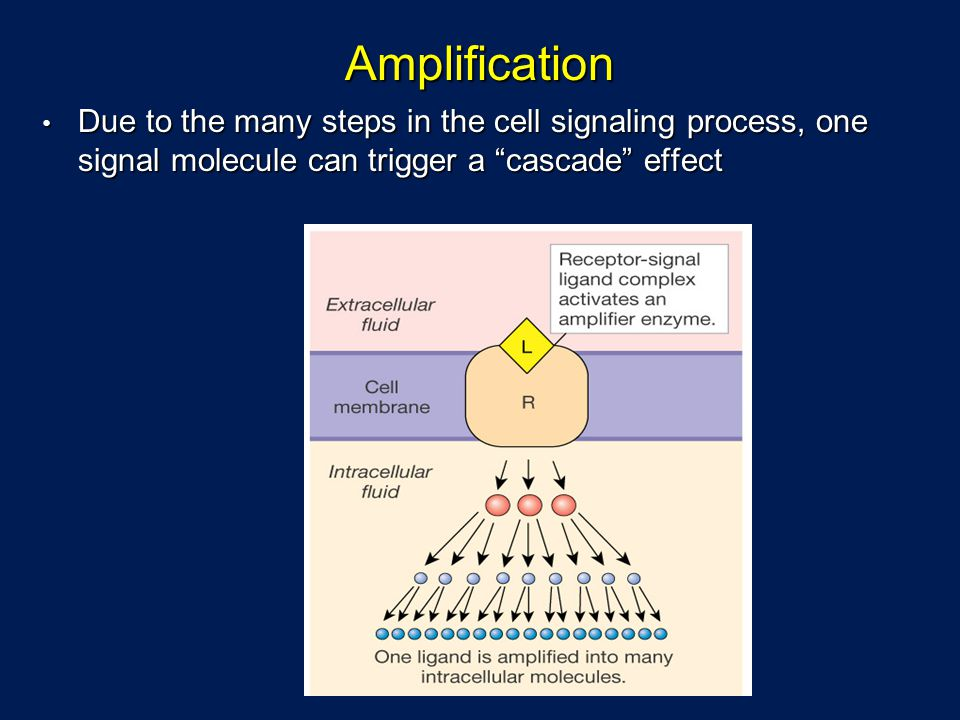 Amplification Due to the many steps in the cell signaling process, one signal molecule can trigger a cascade effect.