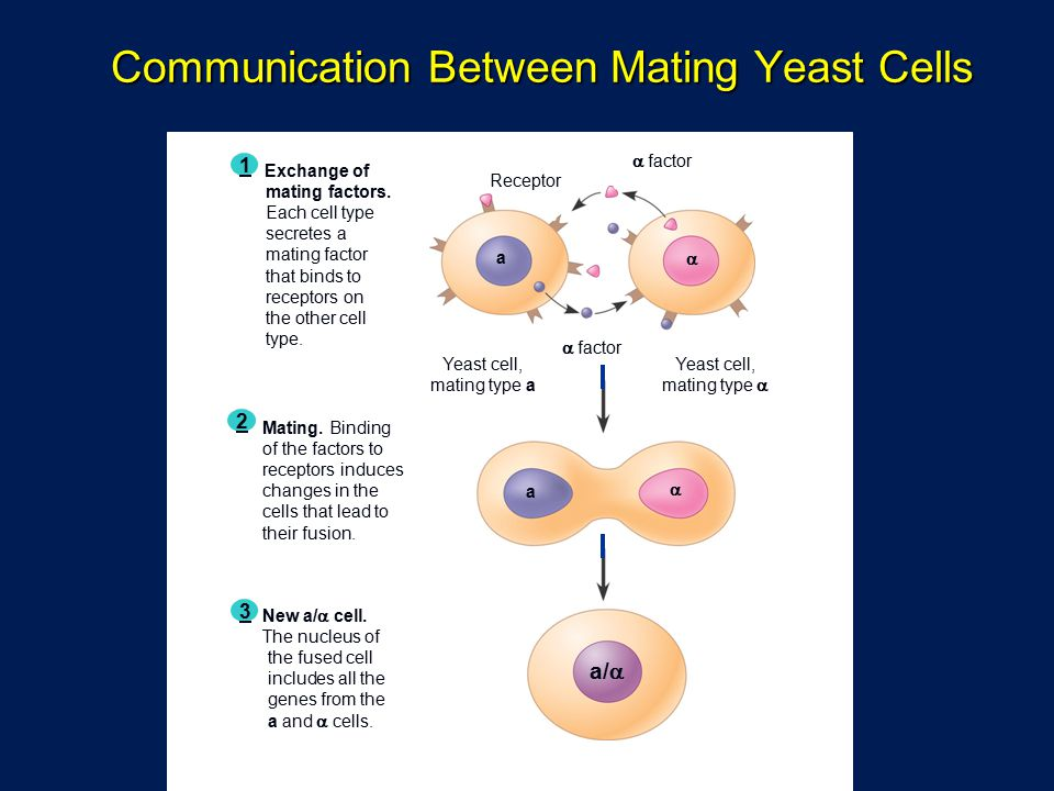 Communication Between Mating Yeast Cells