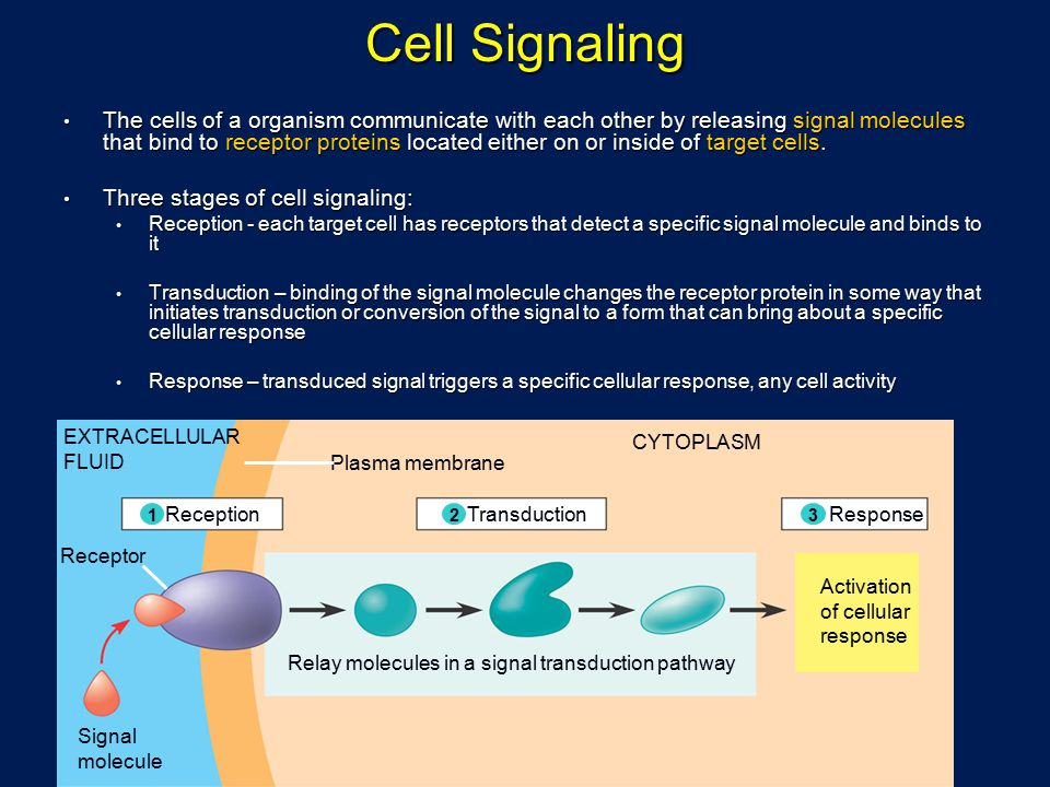 Relay molecules in a signal transduction pathway