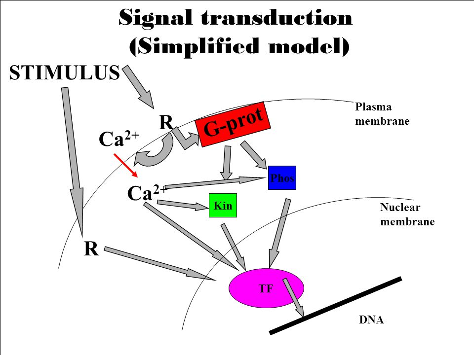 Signal transduction (Simplified model) STIMULUS G-prot R Ca2+ Ca2+ R
