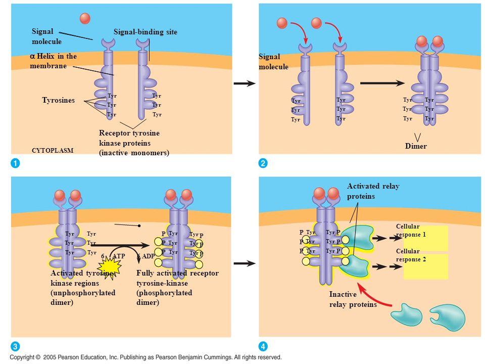 Fully activated receptor tyrosine-kinase (phosphorylated dimer)