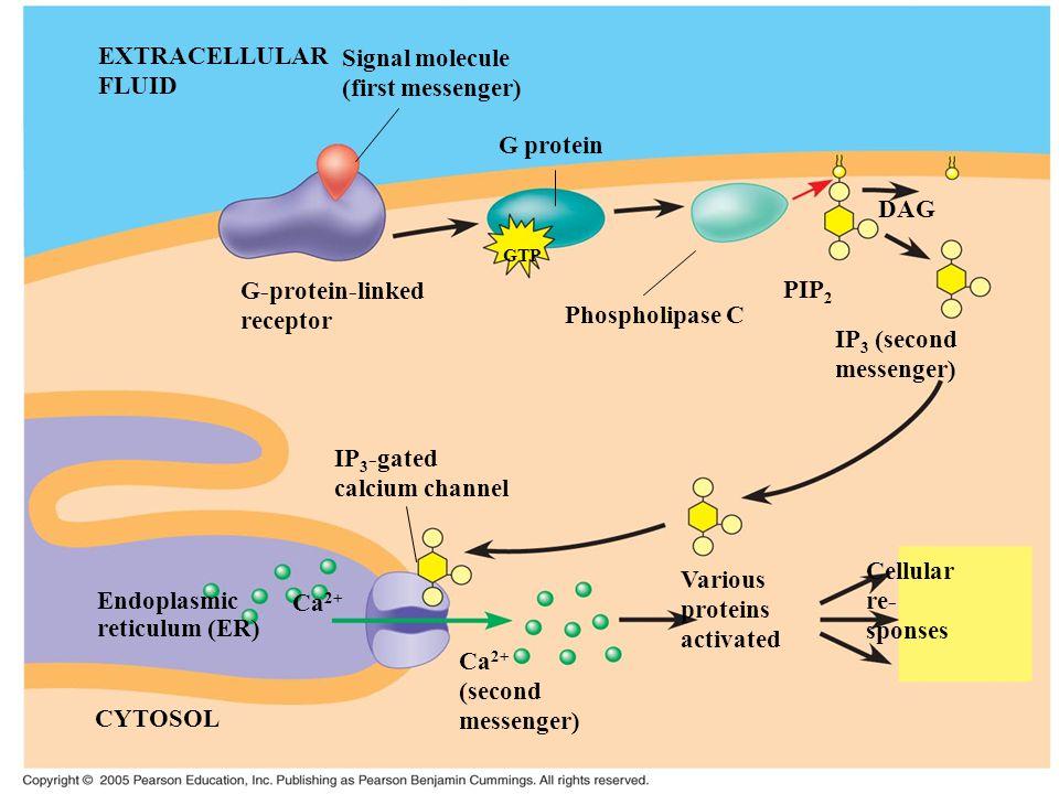 EXTRACELLULAR Signal molecule FLUID (first messenger) G protein DAG