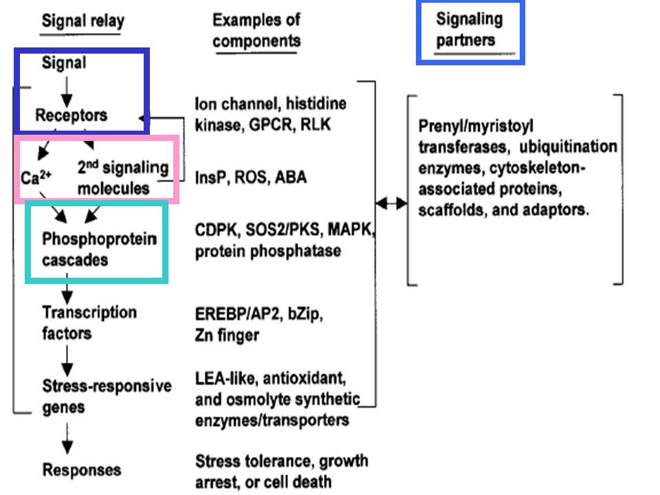 一開始先有訊息認知(signal perception)作用,包括賀爾蒙訊息和接受子(receptor)間辨識,接著靠second messengers 調控細胞內Ca,一般常見second messenger—inositol phosphates 和 ROS。