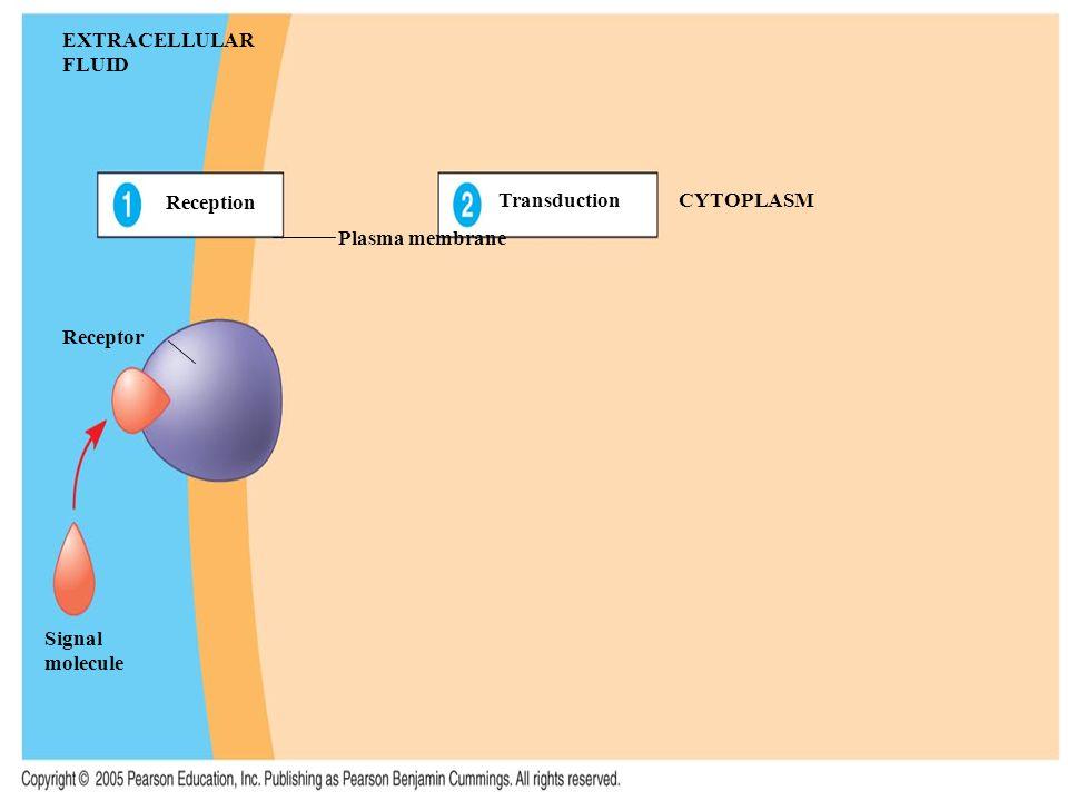 EXTRACELLULAR FLUID Reception Transduction CYTOPLASM Plasma membrane Receptor Signal molecule