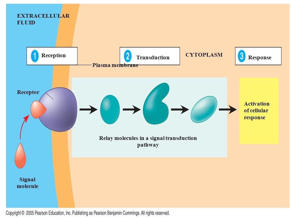 Relay molecules in a signal transduction