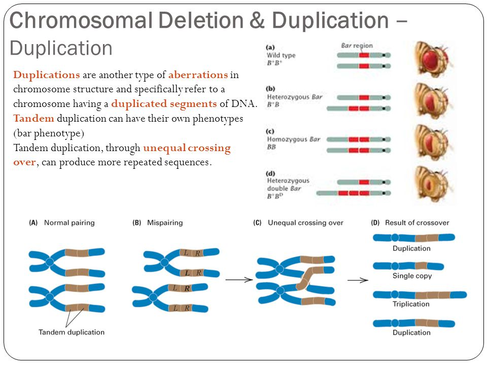 Chromosomal Deletion & Duplication – Duplication