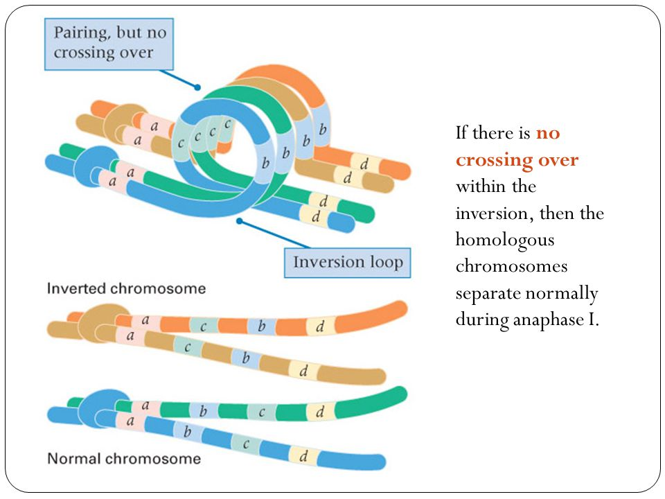 If there is no crossing over within the inversion, then the homologous chromosomes separate normally during anaphase I.