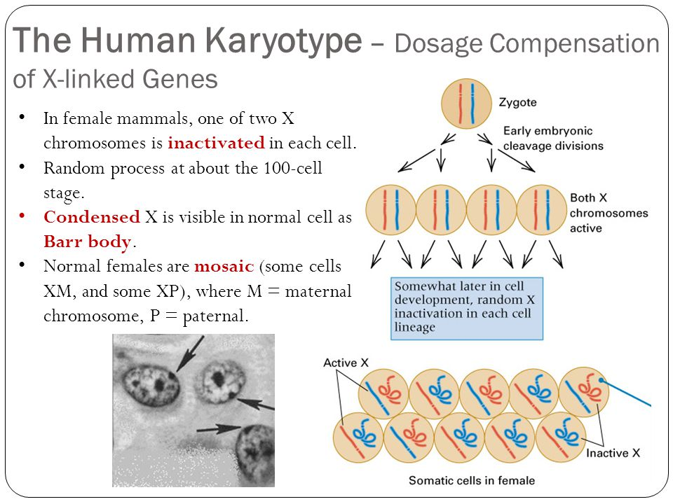 X Inactivation Mammals Human Karyotypes and C...