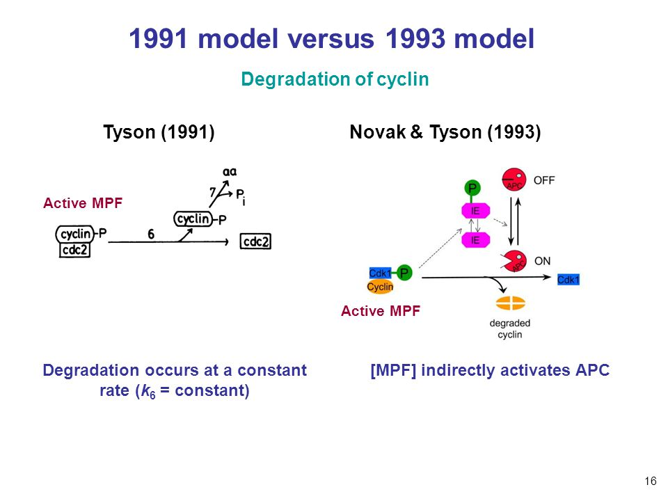 1991 model versus 1993 model Degradation of cyclin Tyson (1991)