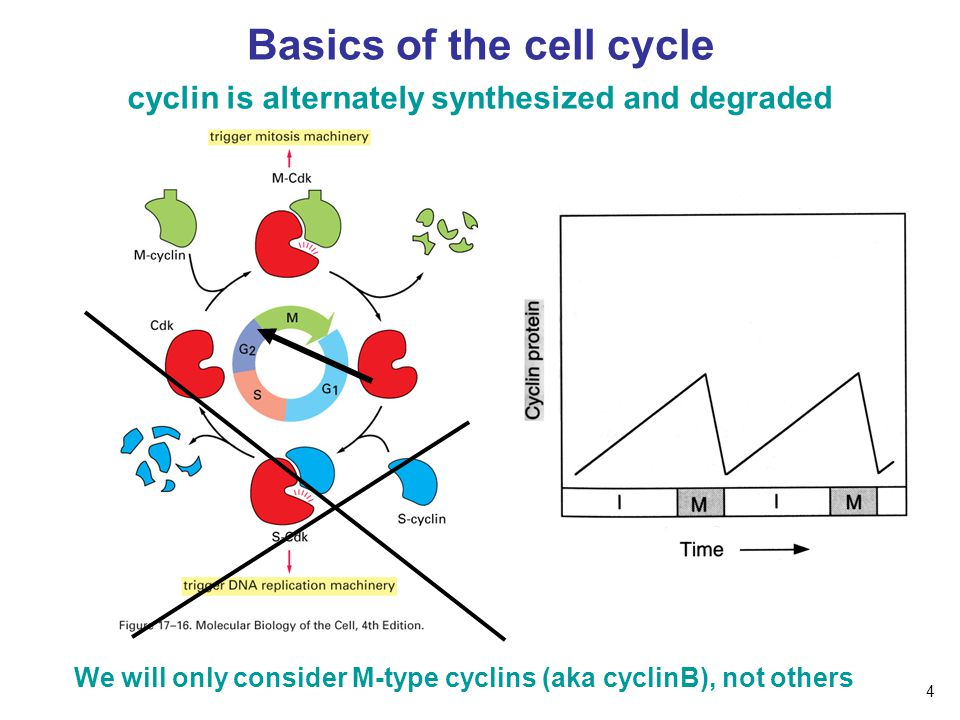 Basics of the cell cycle