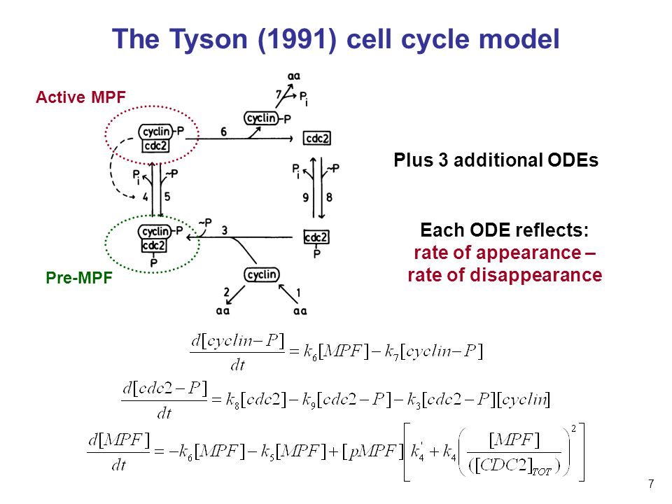 The Tyson (1991) cell cycle model