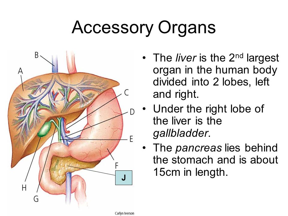 Accessory Organs The liver is the 2nd largest organ in the human body divided into 2 lobes, left and right.