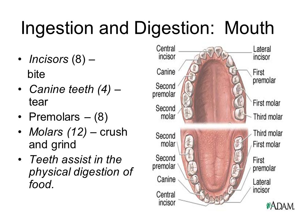 Ingestion and Digestion: Mouth
