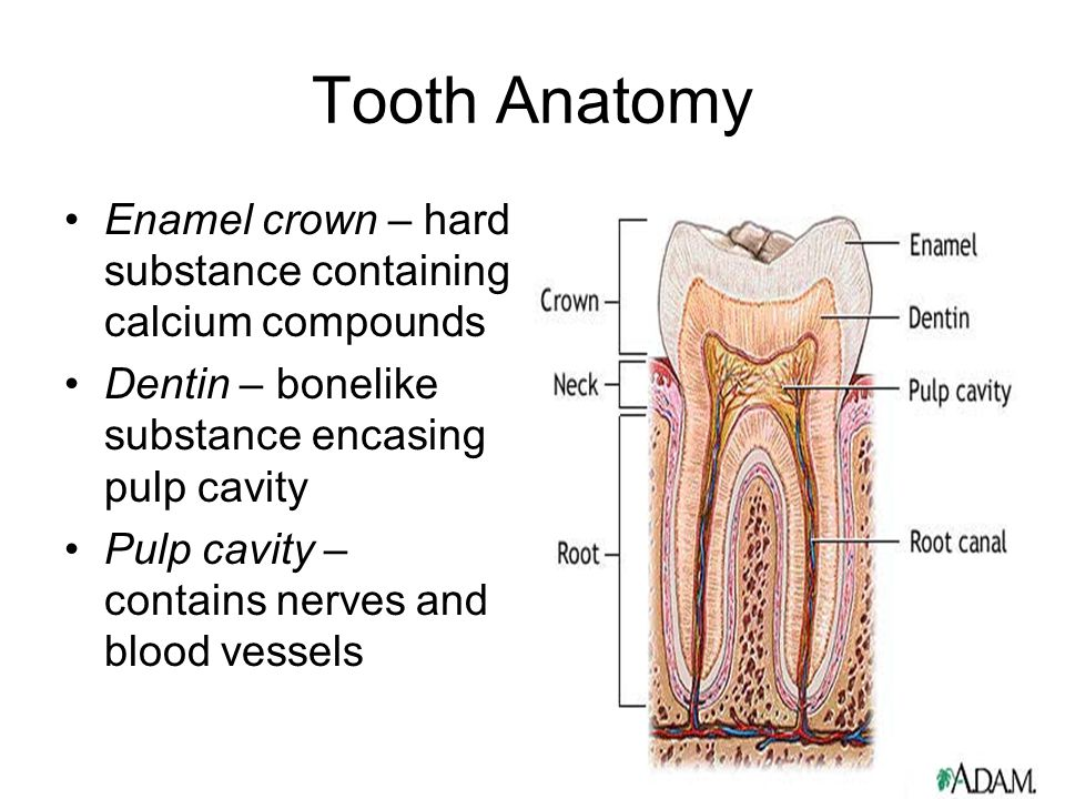 Tooth Anatomy Enamel crown – hard substance containing calcium compounds. Dentin – bonelike substance encasing pulp cavity.