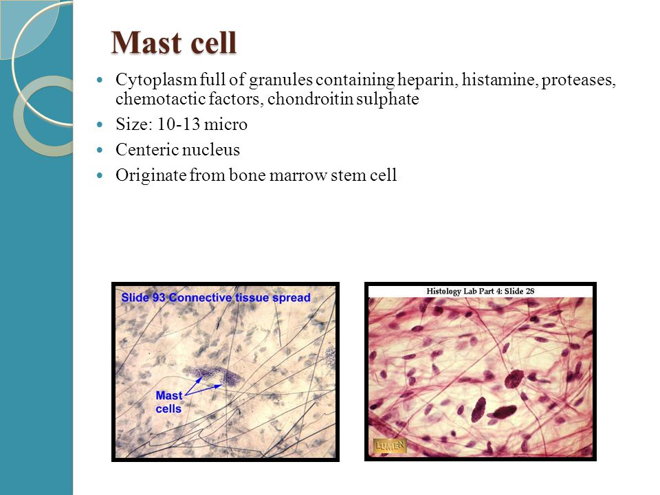 Mast cell Cytoplasm full of granules containing heparin, histamine, proteases, chemotactic factors, chondroitin sulphate.