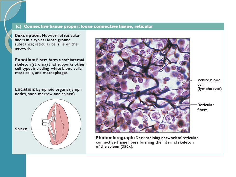 (c) Connective tissue proper: loose connective tissue, reticular