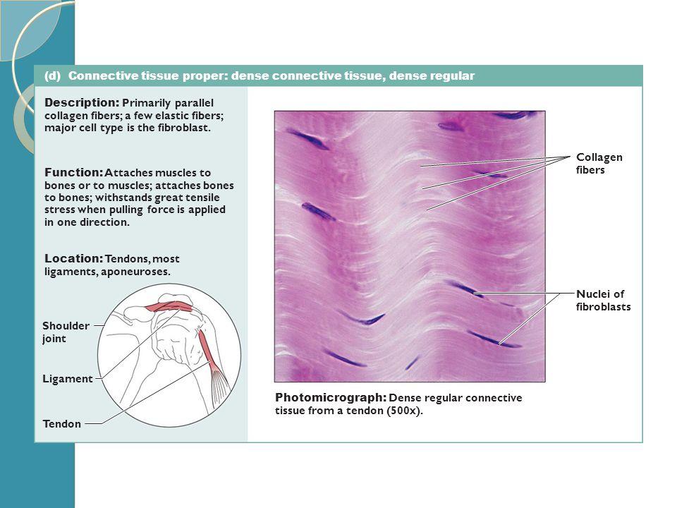 (d) Connective tissue proper: dense connective tissue, dense regular