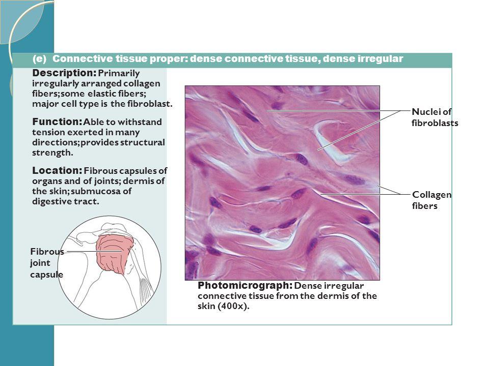 (e) Connective tissue proper: dense connective tissue, dense irregular