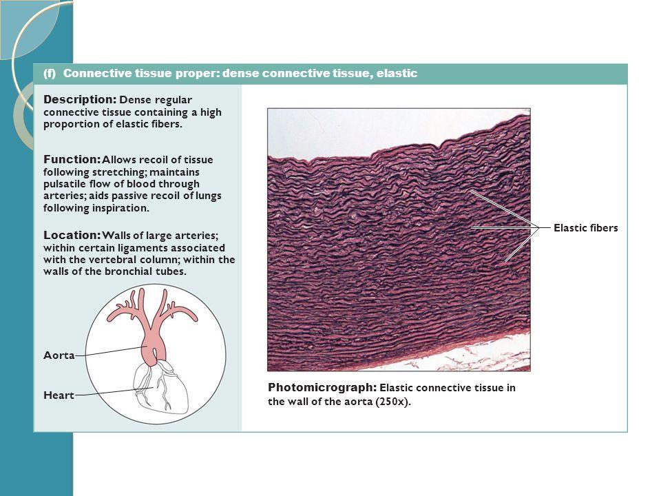 (f) Connective tissue proper: dense connective tissue, elastic