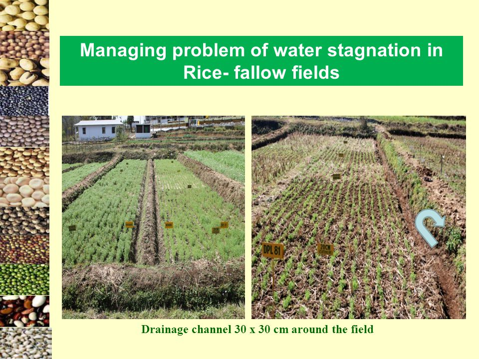 Managing problem of water stagnation in Rice- fallow fields
