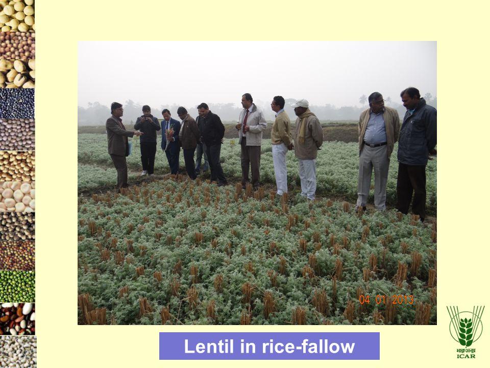 Lentil in rice-fallow