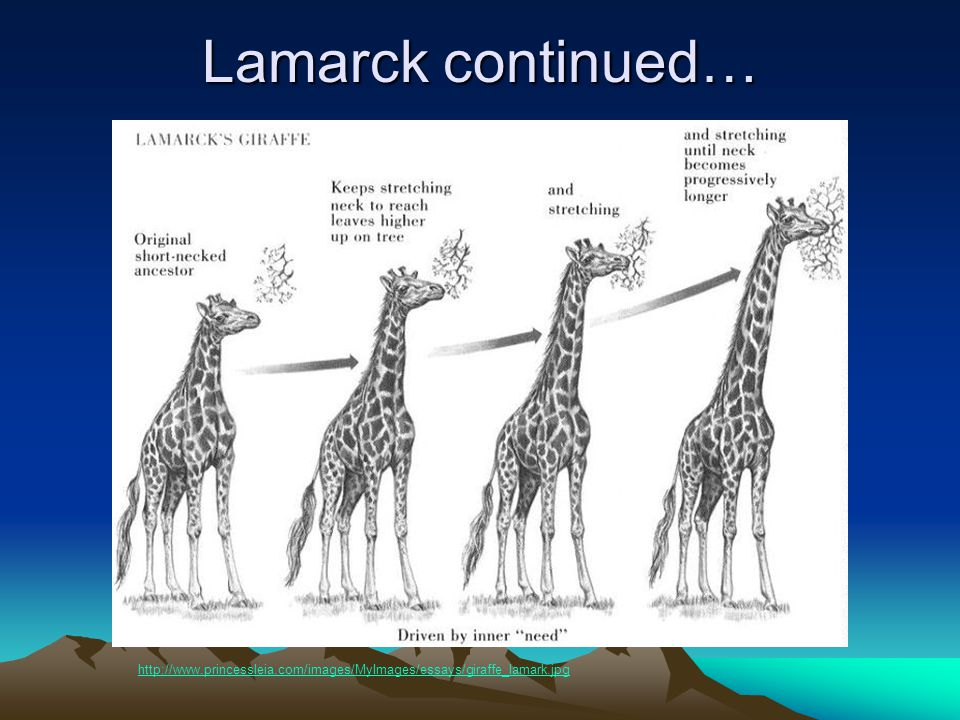 Lamarck continued… http://www.princessleia.com/images/MyImages/essays/giraffe_lamark.jpg