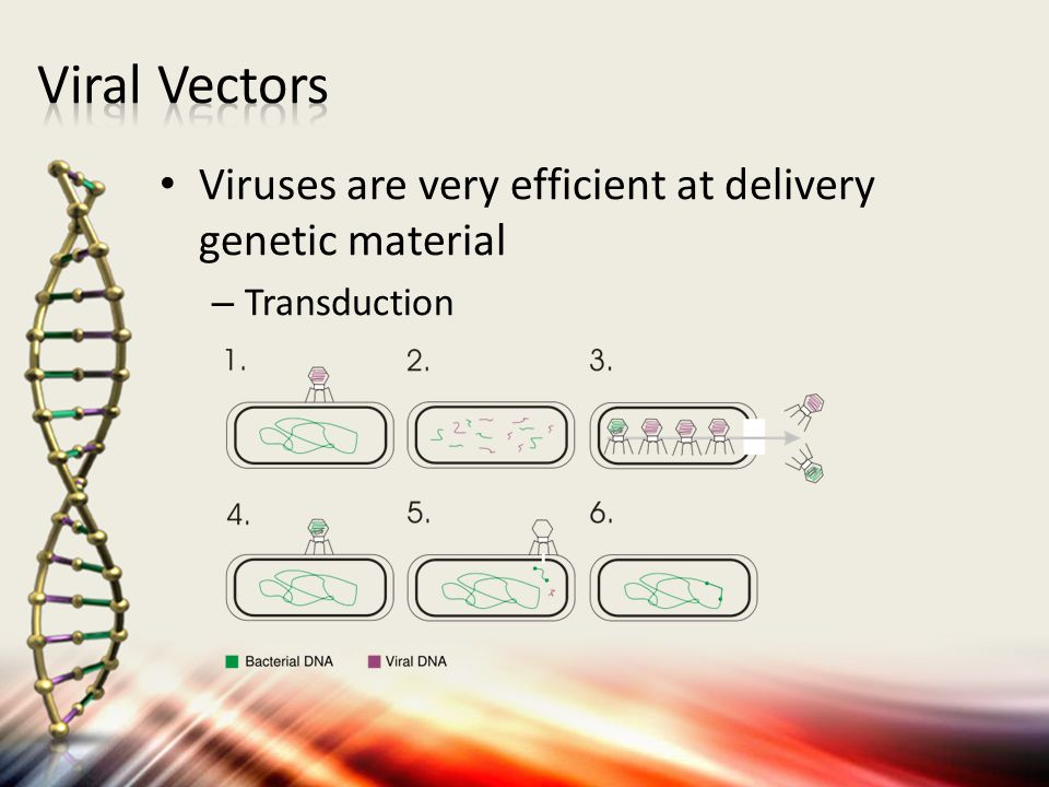 Viral Vectors Viruses are very efficient at delivery genetic material