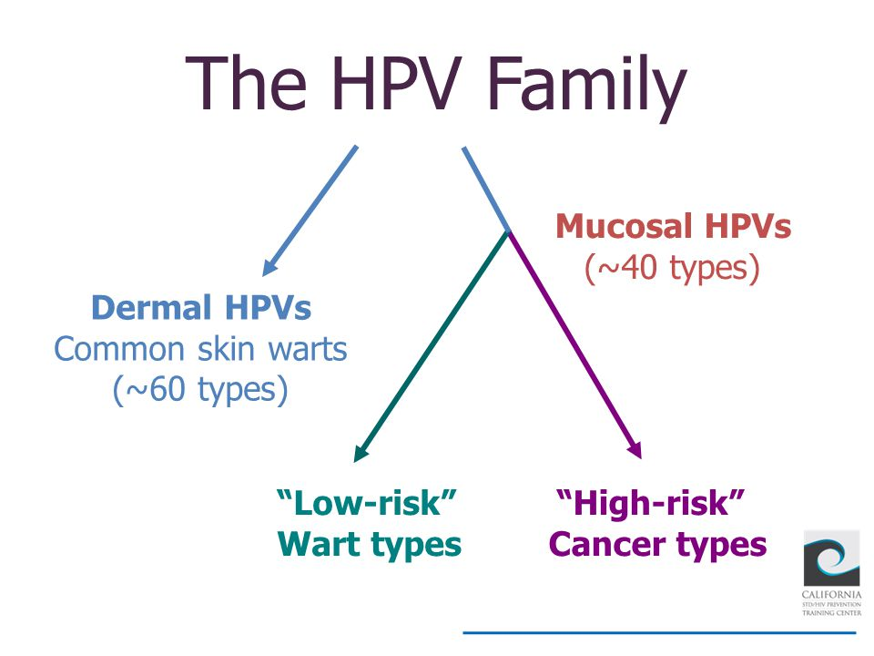 The HPV Family Mucosal HPVs (~40 types) Dermal HPVs Common skin warts