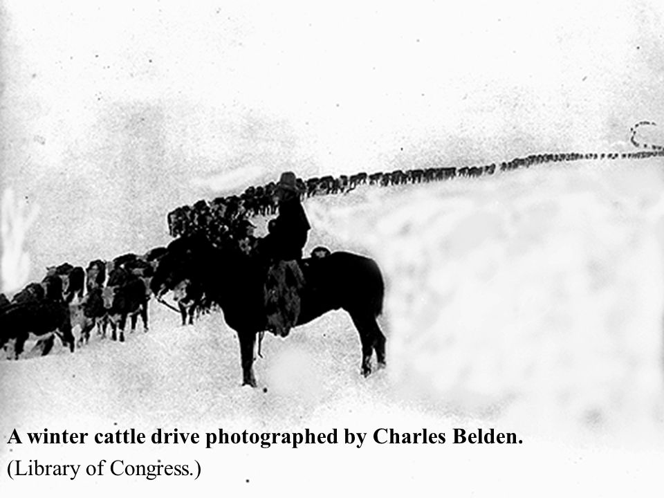 A winter cattle drive photographed by Charles Belden.