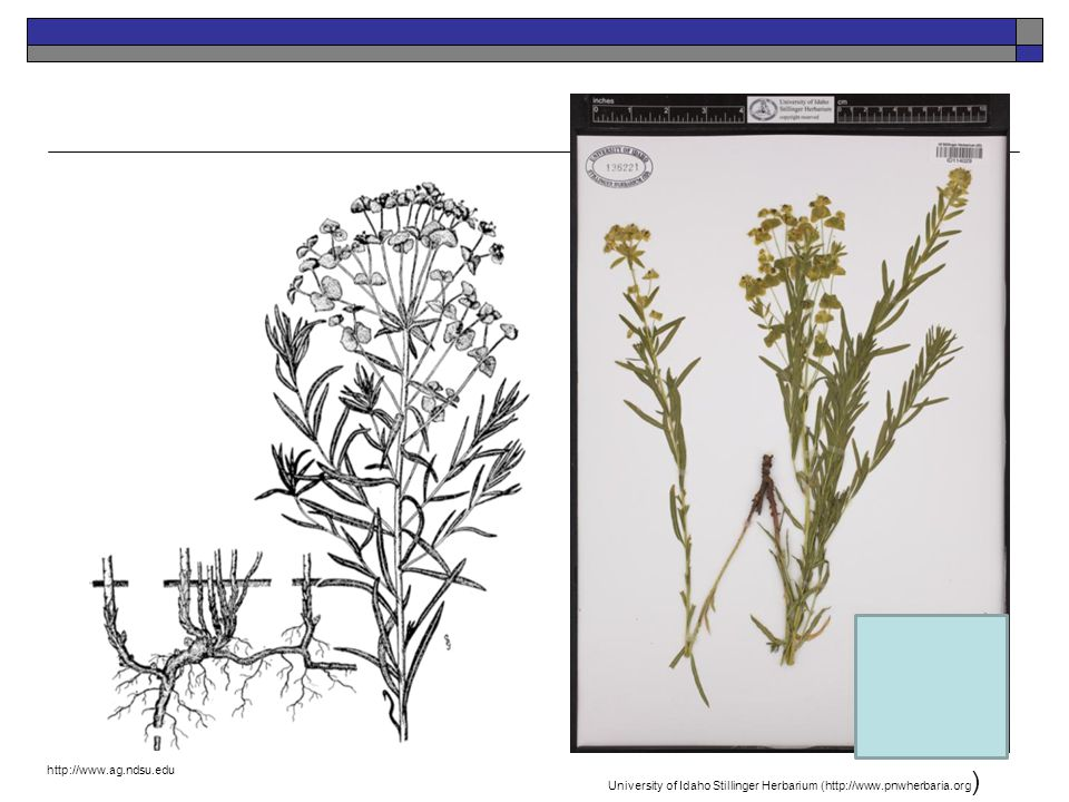 http://www.ag.ndsu.edu University of Idaho Stillinger Herbarium (http://www.pnwherbaria.org)