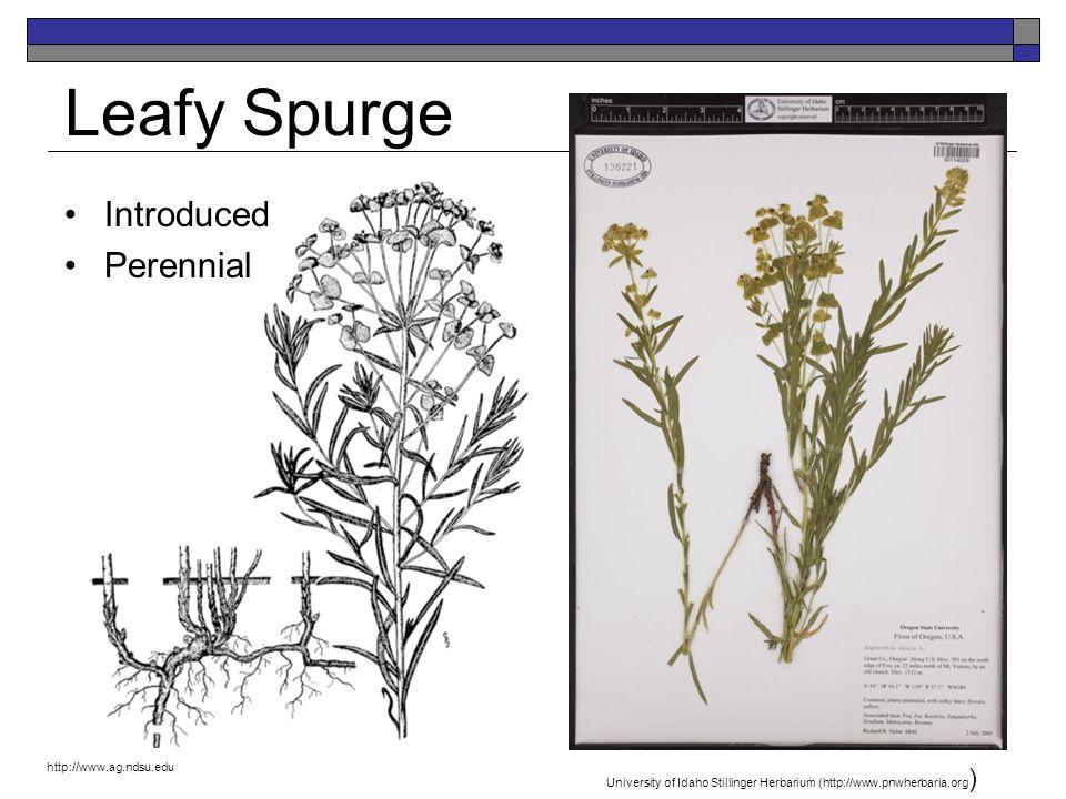 Leafy Spurge Introduced Perennial http://www.ag.ndsu.edu