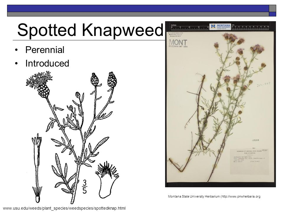 Spotted Knapweed Perennial Introduced K. Launchbaugh K. Launchbaugh
