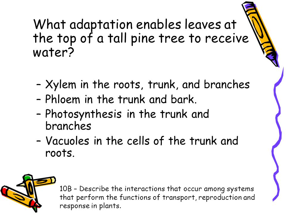 What adaptation enables leaves at the top of a tall pine tree to receive water
