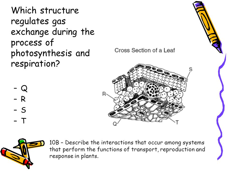 Which structure regulates gas exchange during the process of photosynthesis and respiration