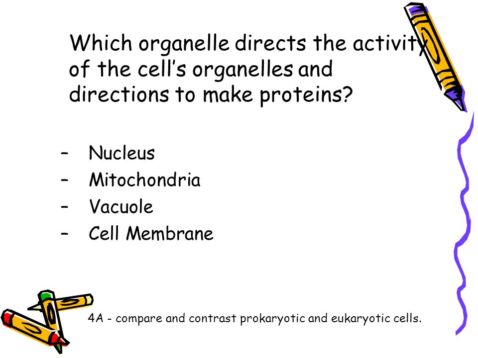 Which organelle directs the activity of the cell's organelles and directions to make proteins