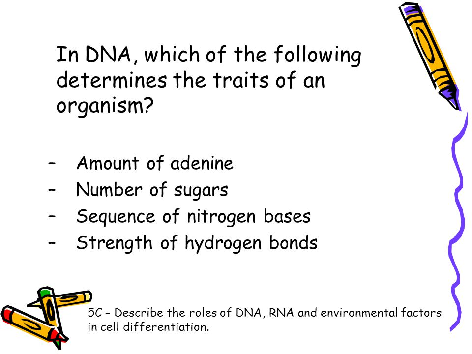 In DNA, which of the following determines the traits of an organism