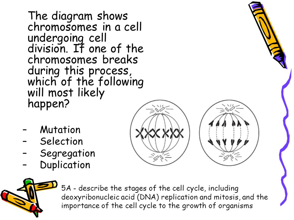 The diagram shows chromosomes in a cell undergoing cell division
