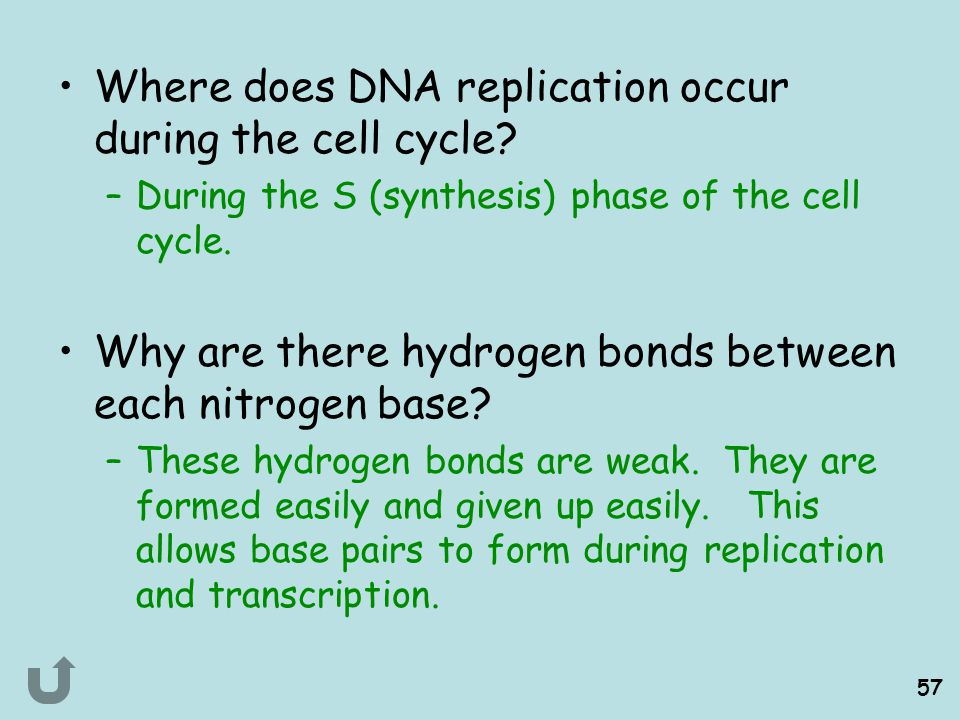 Where does DNA replication occur during the cell cycle
