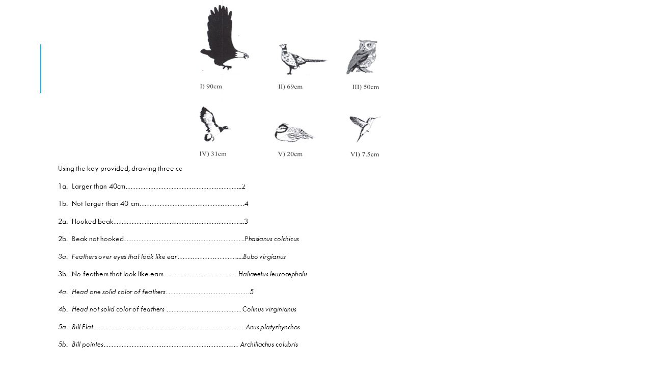 Using the key provided, drawing three can be identified as which bird