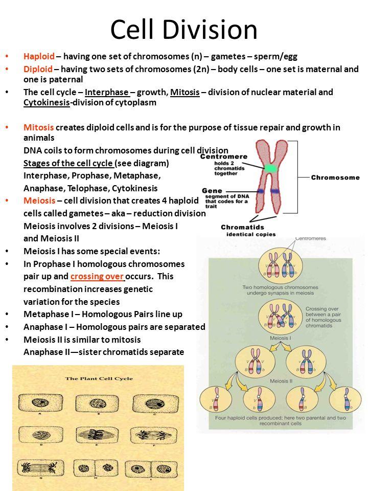 Cell Division Haploid – having one set of chromosomes (n) – gametes – sperm/egg.