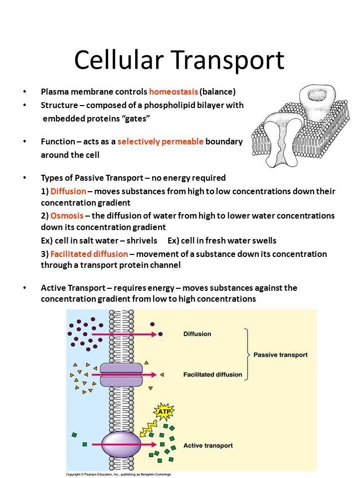 Cellular Transport Plasma membrane controls homeostasis (balance)