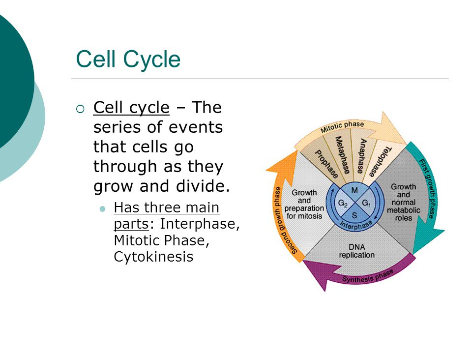 Cell Cycle Cell cycle – The series of events that cells go through as they grow and divide.