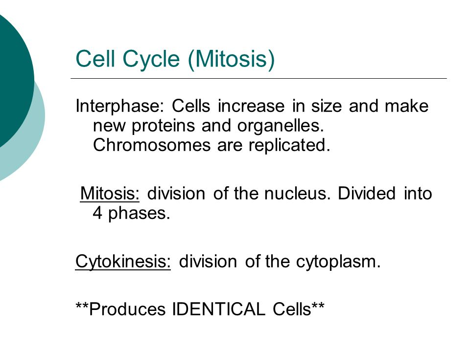 Cell Cycle (Mitosis) Interphase: Cells increase in size and make new proteins and organelles. Chromosomes are replicated.