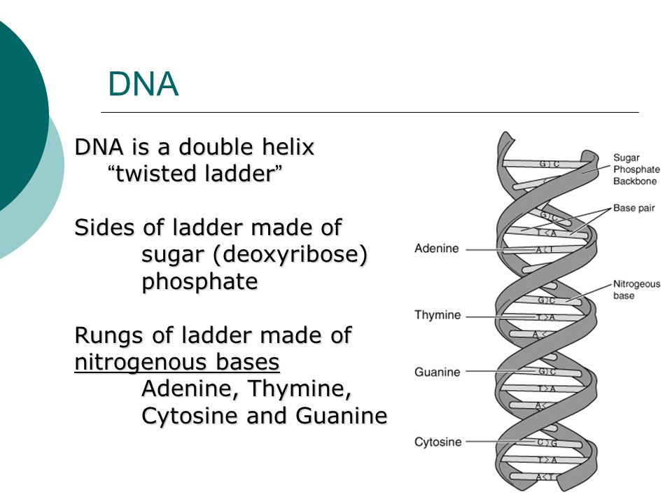 DNA DNA is a double helix twisted ladder Sides of ladder made of