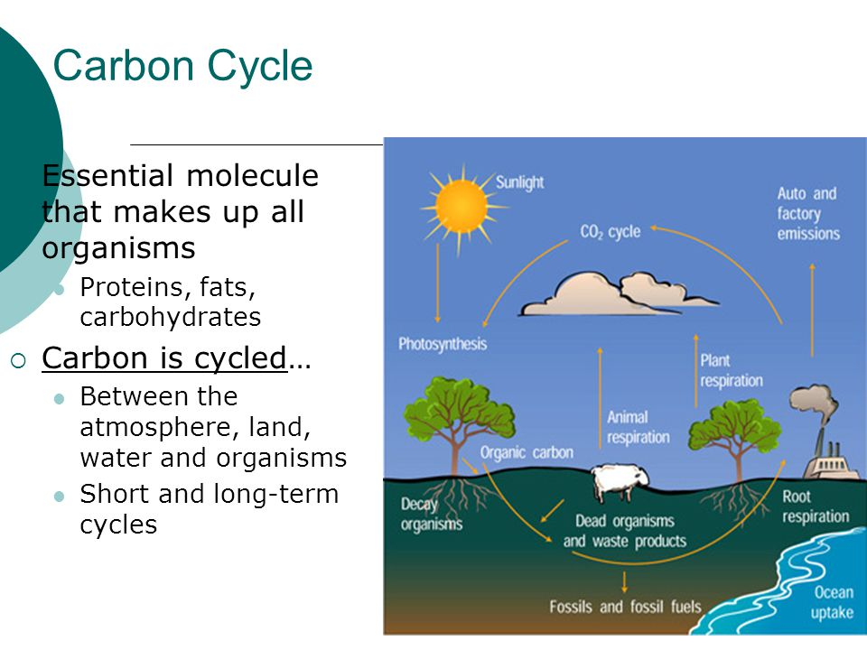 Carbon Cycle Essential molecule that makes up all organisms
